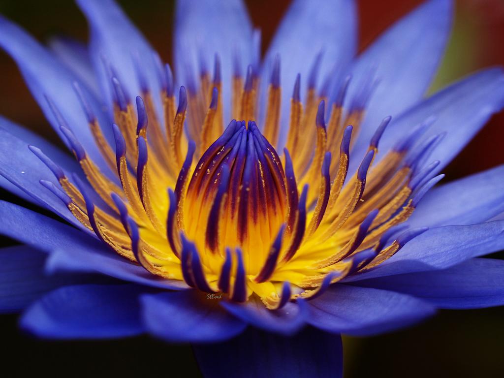Нажмите на изображение для увеличения Название: голубой-лотос1.jpg Просмотров: 3 Размер:358.6 Кб ID:139890