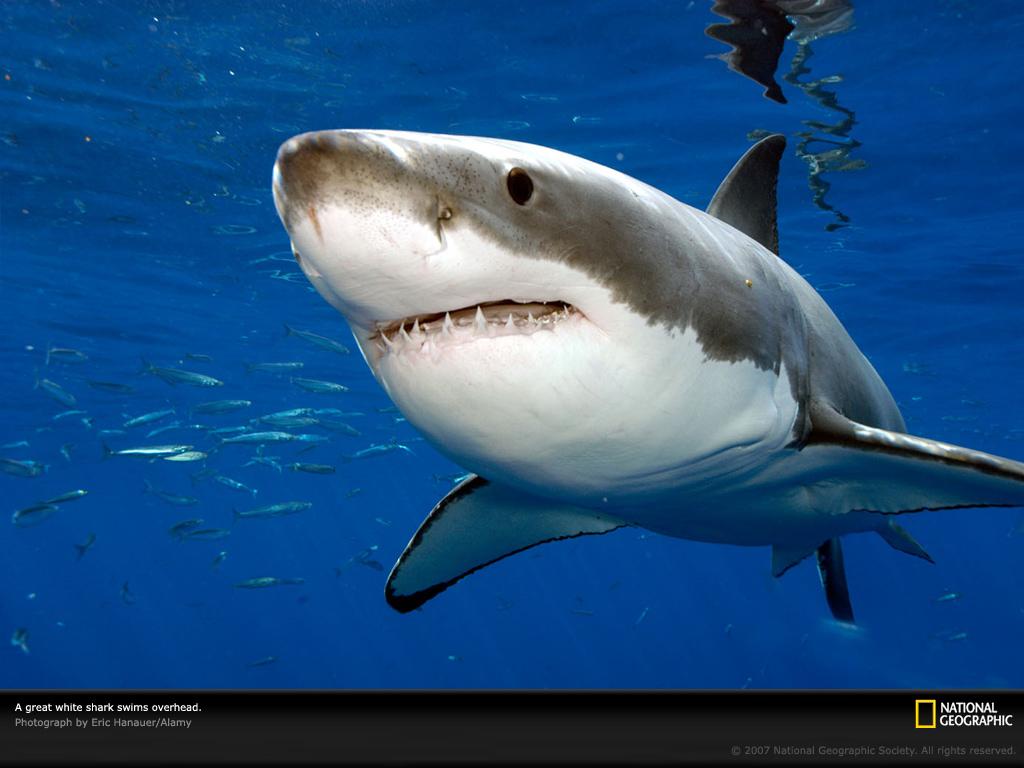 Нажмите на изображение для увеличения Название: great-white-up-close-lw.jpg Просмотров: 110 Размер:248.1 Кб ID:60107